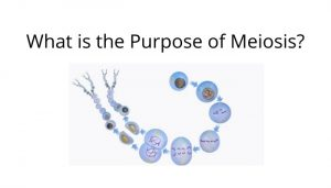 what is the purpose of meiosis?